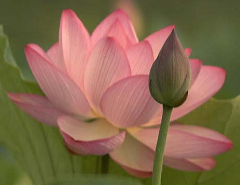 Red Lotus Flower Meaning tamara