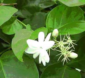 Pooja flowers and Dasa pushpams